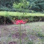 咲き始めのヒガンバナ