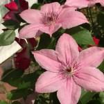 サーモンピンクのクレマチスの花