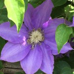 薄紫のクレマチスの花