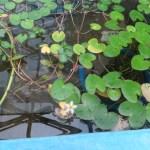 ガガブタの花の全景