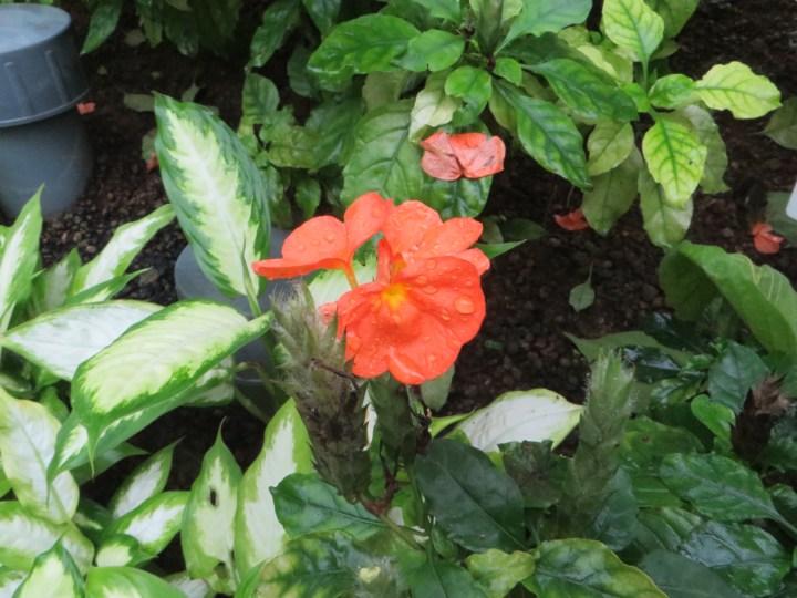 ジョウゴバナ 花のアップ