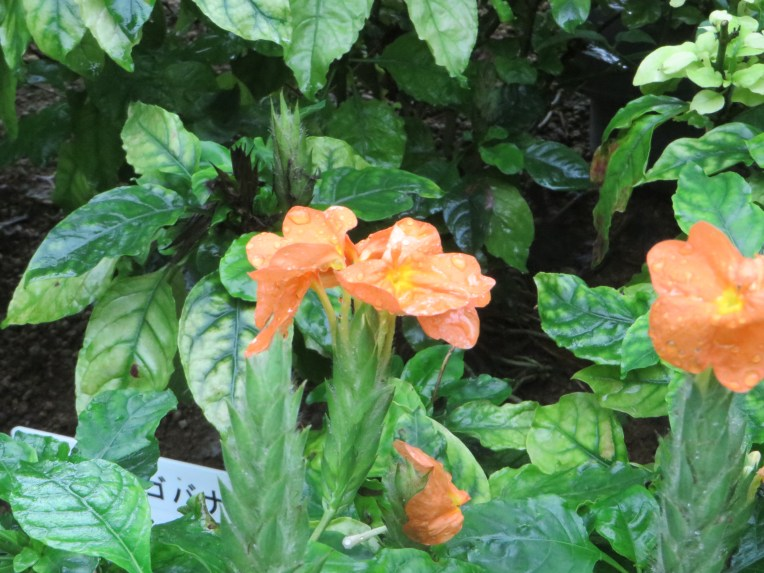 Firecracker flower/ ジョウゴバナ