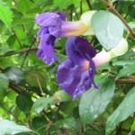 Flower of Thunbergia vogeliana ツンベルギア・フォーゲリアナ