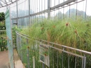 パピルスの花と草の姿