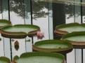 Queen Victoria's water lily オオオニバスの花
