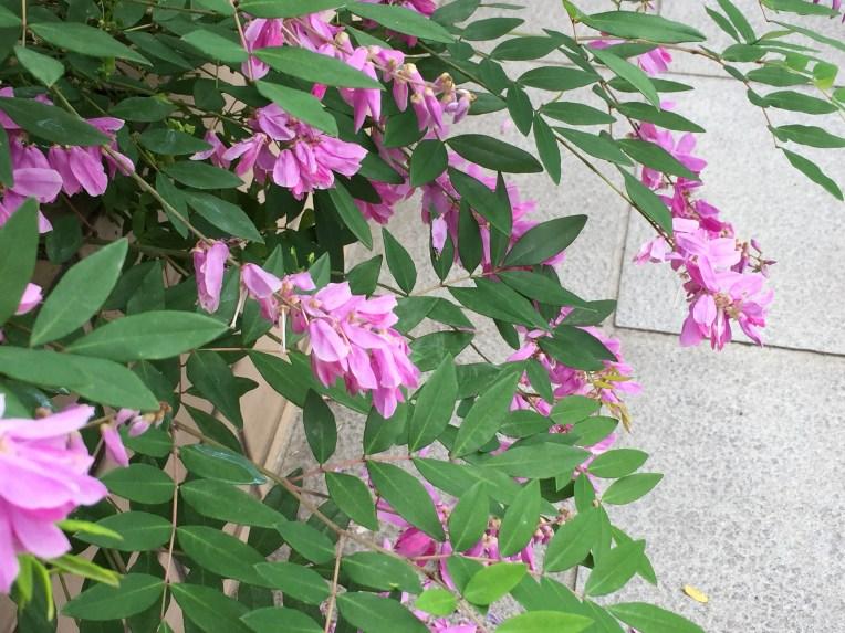 Summer wisteria/ ニワフジ