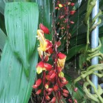 マイソルヤハズカズラの花の様子
