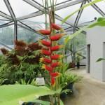 Heliconia rostrataの花