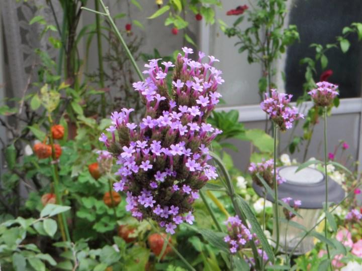ヤナギハナガサ/ サンジャクバーベナの花
