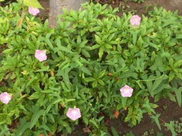 ヒルガオ 植物全体の様子