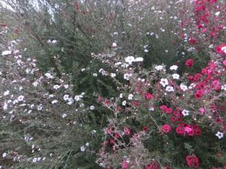 赤と白の花のギョリュウバイ