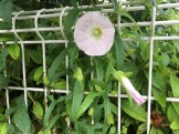 Japanese Bindweed/ ヒルガオ