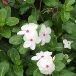 ニチニチソウ花のアップ