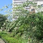 ハギ(ミヤギノハギ) (白花)