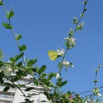 ハギ(ミヤギノハギ) (白花)と黄色い蝶