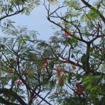 少しまばらなホウオウボクの花