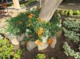 木の元で花を咲かせるカエンカズラ