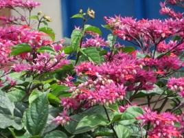 Flowers of Java glory vine