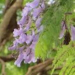 ジャカランダの花 アップ