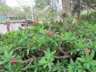 ハナキリンの植物の様子