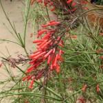 ハナチョウジの花のアップ