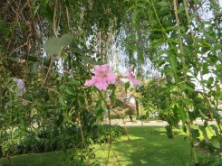 Flowers of Pink Trumpet Vine