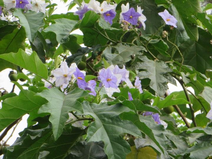 Giant Star Potato Tree/ ソラヌム・マクランツム