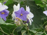 Flowers of Giant Star Potato Tree