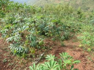 キャッサバの植物の全景