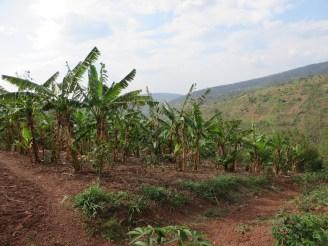バナナ園の様子