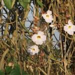 ベンガルヤハズズカズラの花の様子