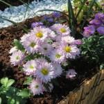 淡いピンクの小菊