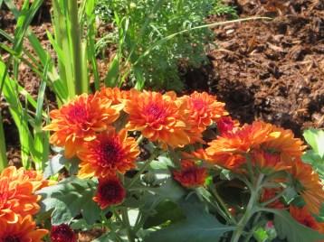 オレンジ色系の小菊