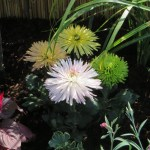 白と黄色の小菊
