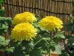 Florist's daisy/ キク