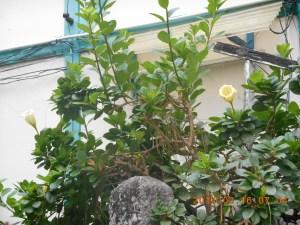 ラッパバナの咲いている様子