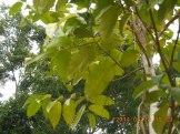 シャムジンコウの葉