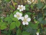 Rubus hirsutus/ クサイチゴ