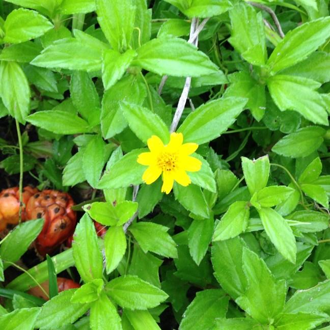 アメリカハマグルマの花と植物全体