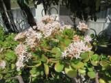 フチベミベンケイ 花と葉の様子