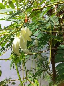 シロゴチョウ花の様子