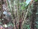 rattan palms/ トウ