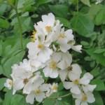 ノイバラの花 アップ