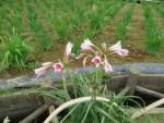 Orange River lily/ アフリカハマユウ