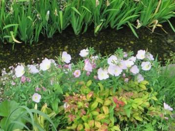 ヒルザキツキミソウの咲いている様子