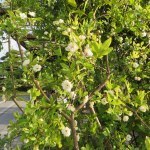 モッコウバラの木の様子