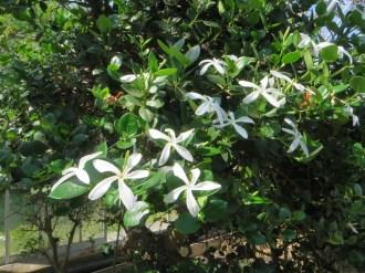 Flower of Natal plum