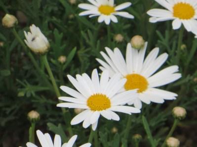 白色のマーガレット 花のアップ