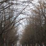 イチョウ ほとんど落葉した北大のポプラ並木