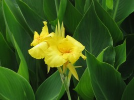黄色のカンナの花のアップ